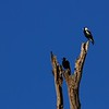 New Zealand Magpies