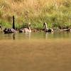 New Zealand Swans