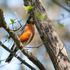 May 1, 2013; Troy, MI, USA; An American Robin sits in a tree. Credit: Tim Fuller