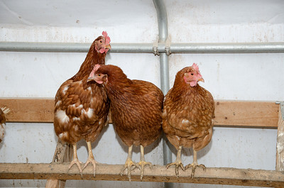 Chickens perched inside a brooder house on an Ilinois farm
