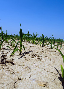 Dry ground and drought conditions in an Illinois cornfield