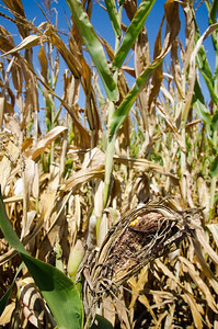Ear of corn damaged by severe and extended drought in midwest United States.