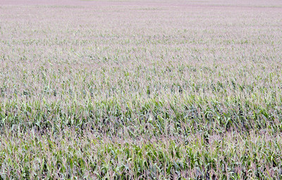 Corn stalks in a field in southern Illinois.