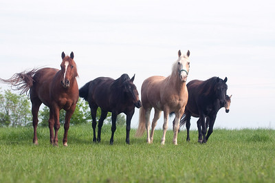 Horses standing in a pasture and looking towards the camera