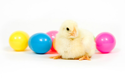 A baby chicken sits in front of a group of colorful plastic Easter eggs