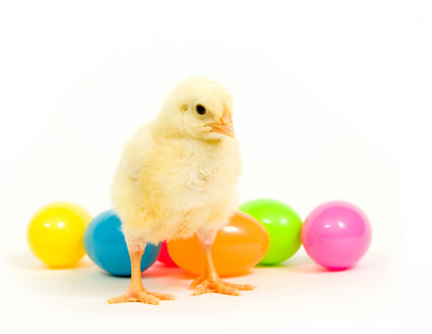 A baby chick stands in front of an assortment of colorful plastic easter eggs.