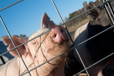 A pig sticks its snout through a fence