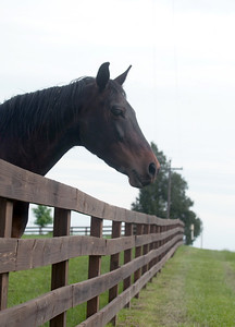 A horse looks over the top of a fence to the other side