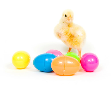 A baby chick stands behind several colorful plastic Easter eggs on white background