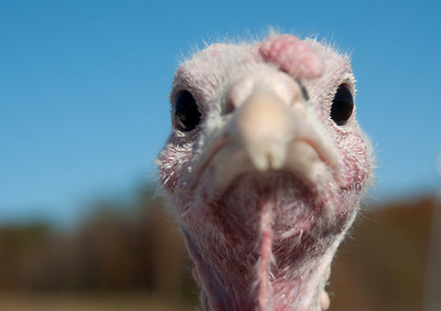 Portrait of pasture raised white turkey on a farm in Midwestern US