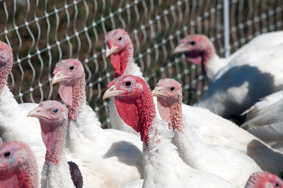 A group of pasture raised turkeys near an electric fence