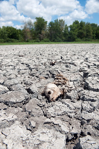 Dried carcass of dead fish on dried bed of wetland during severe drought in midwestern United States.