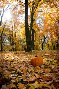 Large pumpkin sitting on ground covered with fall leaves