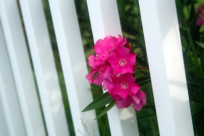 Red flowers and a white fence in spring for use as backgorund