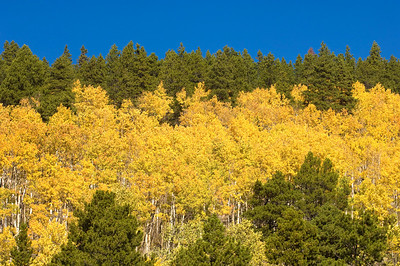 Aspen trees and evergreens in Rocky Mountain national park