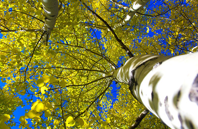 The leaves of an aspen tree against a blue sky in Rocky Mountain National Park