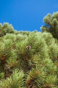 Pine cones on an evergreen tree in Rocky Mountain National Park