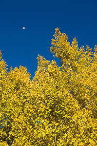 Aspen trees in autumn against a blue sky in Rocky Mountain National Park