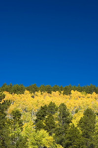 Aspens stand out against a blue sky on a hillside in Rocky Mountain National Park