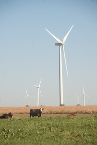 Cattle graze in an open meadow with wind turbines in the background