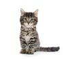 Cute baby tabby kitten on white