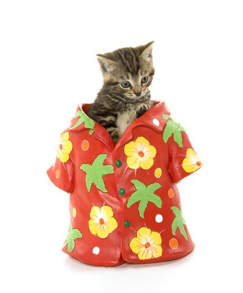Cute tabby kitten in Hawaiian shirt