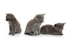 Three gray kittens