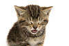 Cute tabby kitten ion white