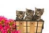 Three tabby kittens