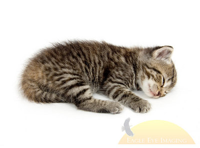 A small kitten lies down for an afternoon nap. This kitten is one of five from a litter being raised on a farm in central Illinois