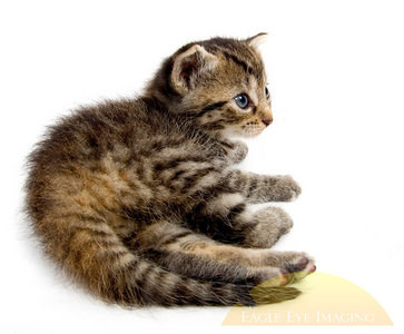 A small kitten lies down to rest on a white background