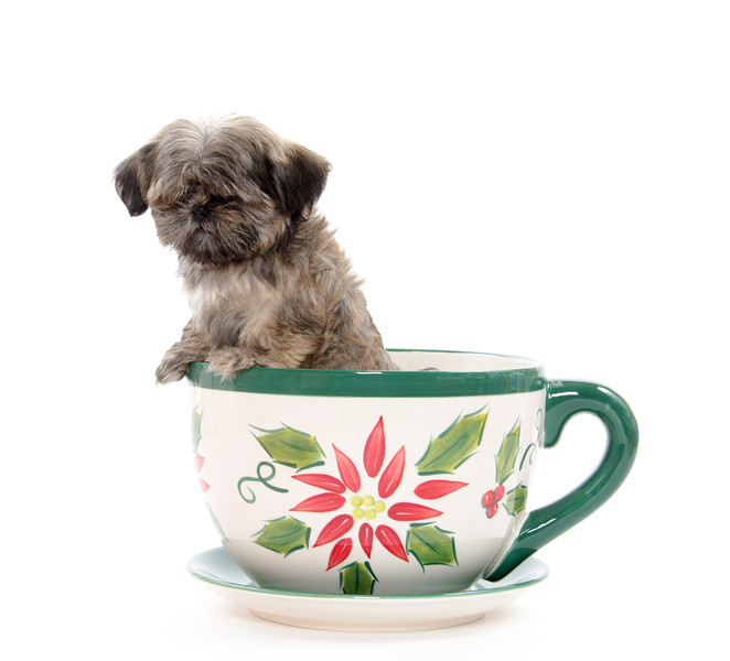 Cute shih tzu dog sitting inside of large coffee cup on white background