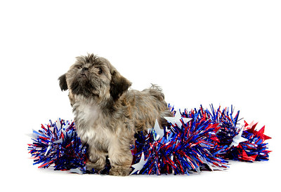 Cute  Shih Tzu puppy sitting with colorful Fourth of July decorations on white background