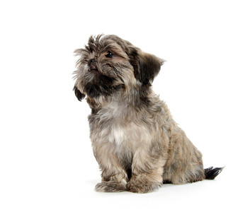 pure breed Shih Tzu puppy on white background