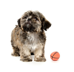 A  Shih Tzu puppy playing with a toy American football on white background