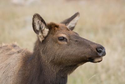 American elk cow