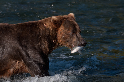 Alaskan brown bear with salmon in its mouth