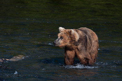Alaskan brown bear walking through water