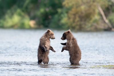 Two cute brown bear cubs playing