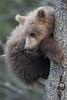 Cute Alaskan brown bear cub