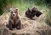 Alaskan brown bear sow with cubs