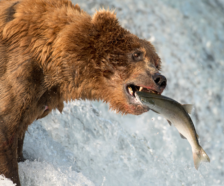 Alaskan brown bear attempting to catch salmon