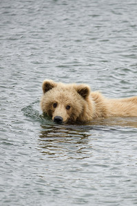 Young Alaskan brown bear wading through water in Katmai National Park