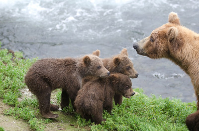 Alaskan brown bear cubs standing near the water at Brooks Falls in Katmai National Park