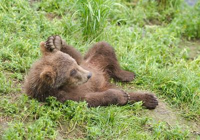 An Alaskan brown bear cub relaxing on the bank of a river in Katmai National Park