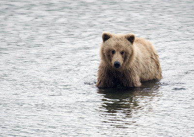 Young Alaskan brown bear wading through water in Katmai National Park