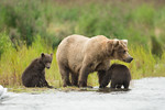 Alaskan brown bear and cubs