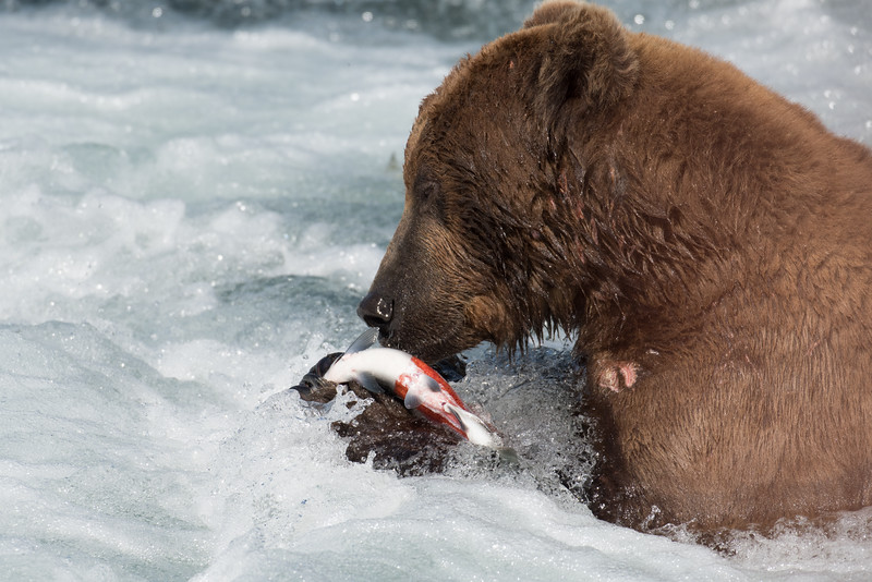 Alaskan brown bear eating salmon