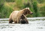 Alaskan brown bear sow and cub