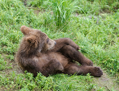 An Alaskan brown bear cub relaxing on the bank of a river in Katmai National Park